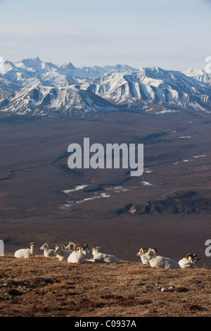 Band of ram Dall Sheep rest on a ridge with Alaska Range in the background, Denali National Park and Preserve, Interior - Stock Photo