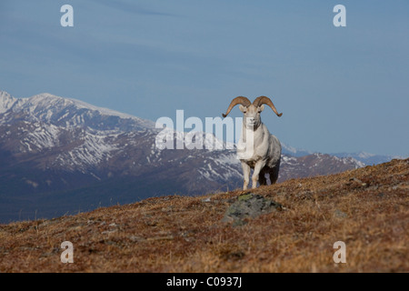 A Dall ram stands on ridge in Denali National Park and Preserve, Interior Alaska, Spring - Stock Photo