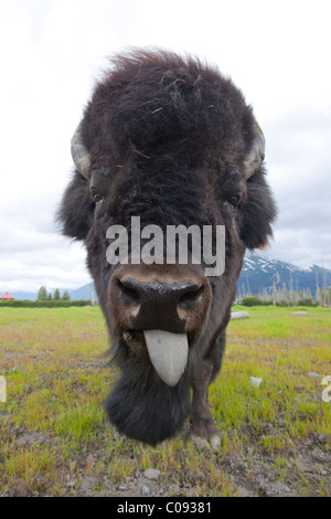 Close up of the face of a Bull Wood bison with its tongue hanging out, Alaska Wildlife Conservation Center, Alaska, - Stock Photo