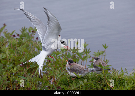 An adult Arctic Tern feeds a minnow to one of a pair of tern chicks at Potter Marsh, Southcentral Alaska, Summer - Stock Photo