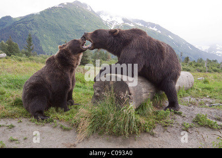 A pair of captive Brown bears snarl and touch open mouths over a log at Alaska Wildlife Conservation Center, Alaska. - Stock Photo