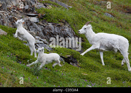 A Dall sheep ewe and lambs run through a green meadow at Windy Point along Seward Highway, Southcentral Alaska, - Stock Photo