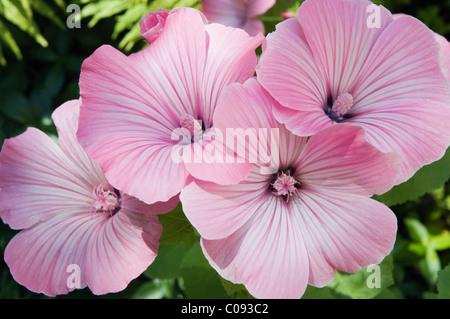 Annual Mallow, Rose Mallow, Royal Mallow, Regal Mallow (Lavatera trimestris), Germany - Stock Photo
