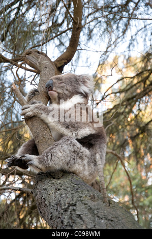 Koala bear in a tree, Great Otway National Park, Victoria, Australia - Stock Photo