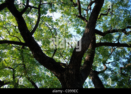 Gulmohar tree seen from bellow in Rajasthan , India . Asia . - Stock Photo