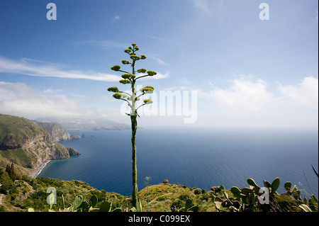 Blooming Agave (Agavoideae) in front of the bay of the Valle Muria, Lipari island, on the horizon Vulcano island, - Stock Photo