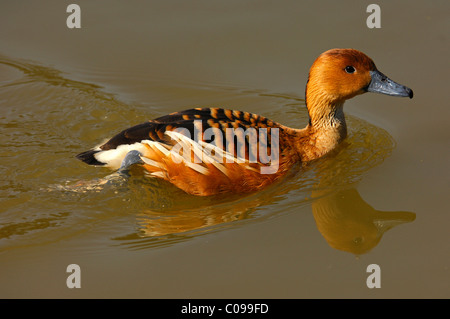 Fulvous Whistling Duck (Dendrocygna bicolor) - Stock Photo