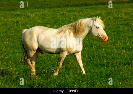Hanoverian stallion, white stallion in a paddock - Stock Photo