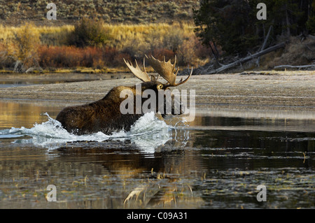Bull Moose racing across the Snake River in Grand Teton National Park.