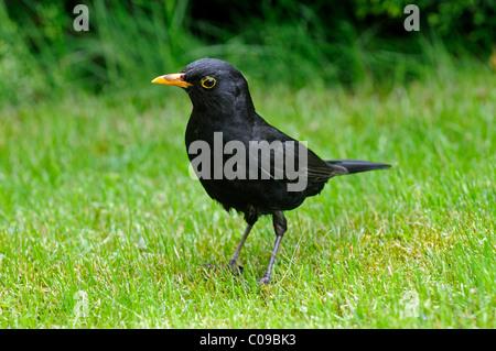Blackbird (Turdus merula), male - Stock Photo