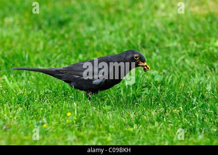 Blackbird (Turdus merula), male, with a worm in it's beak - Stock Photo