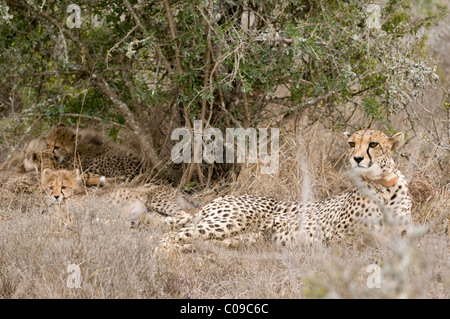Family of cheetahs, Kwandwe Game Reserve, Eastern Cape, South Africa - Stock Photo