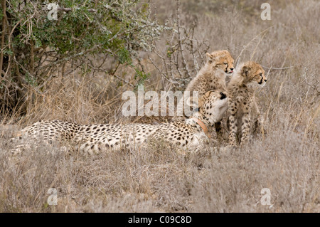 Cheetah with cubs, Kwandwe Game Reserve, Eastern Cape, South Africa - Stock Photo