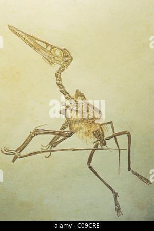 Pterodactyl, (Pterodactylus or Ornithocephalus kochi) fossil, late Jurassic, Germany. - Stock Photo