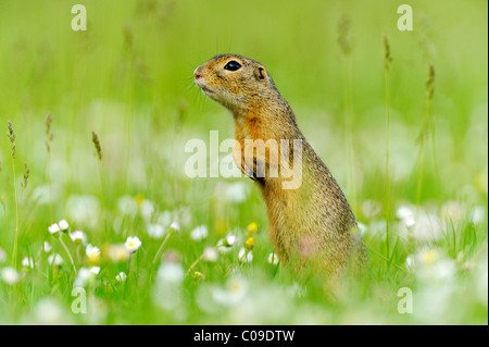 European ground squirrel (Spermophilus citellus), standing on a meadow with flowering daisies - Stock Photo