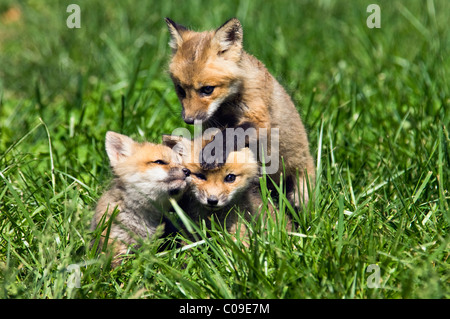 Three Baby Red Foxes Playing Together in Floyd County, Indiana - Stock Photo