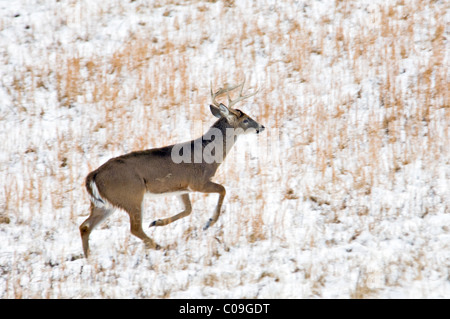 White-tailed Deer Buck with Broken Antler Tine Running through Snow Covered Field in Cades Cove in the Great Smokey - Stock Photo