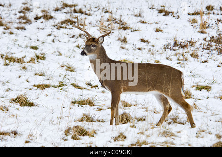 Alert White-tailed Deer Buck With Broken Antler Tine in Snow Covered Field in Cades Cove in the Great Smokey Mountains - Stock Photo