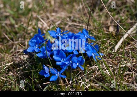 Spring Gentian (Gentiana verna), National Park Northern Velebit, Lika-Senj County, Croatia, Europe - Stock Photo