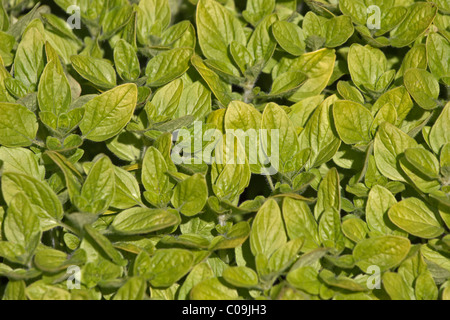 Wild marjoram or Oregano (Origanum vulgare) - Stock Photo