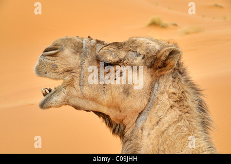 Dromedary (Camelus dromedarius), portrait, desert trekking, Erg Chebbi, Morocco, Africa - Stock Photo