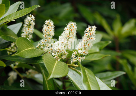 Cherry laurel (Prunus laurocerasus) blossoms, Ireland, Europe - Stock Photo