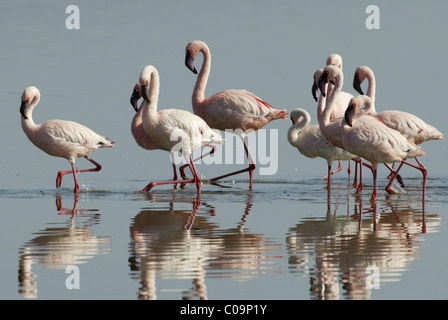 Lesser flamingos (Phoenicopterus minor), courtship display, Lake Nakuru, Kenya, Africa - Stock Photo