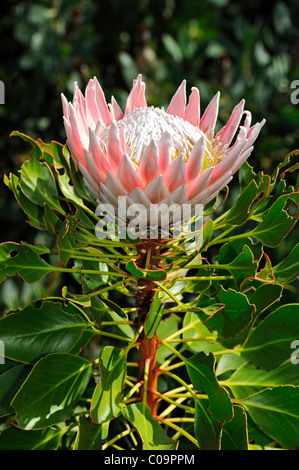 King Protea (Protea cynaroides), national flower of South Africa, Cape Floristic Region, South Africa, Africa - Stock Photo