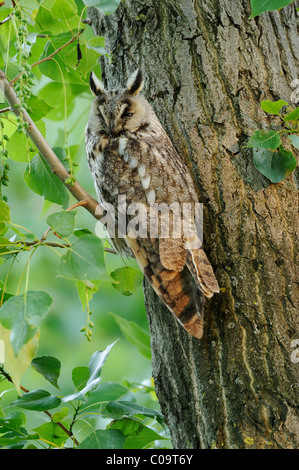 Long-eared owl (Asio otus) perched on a branch, camouflage - Stock Photo