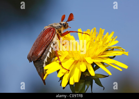 European cockchafer beetle or May beetle (Melolontha melolontha) on a dandelion flower (Taraxacum officinale)