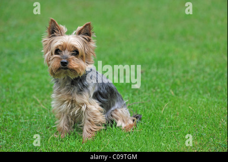 Yorkshire terrier, in a meadow - Stock Photo