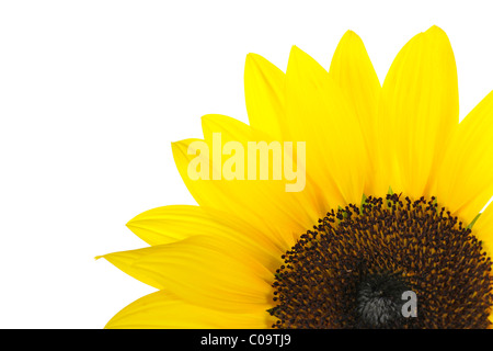 Detail of sunflower (Helianthus annuus) with tubular flowers - Stock Photo