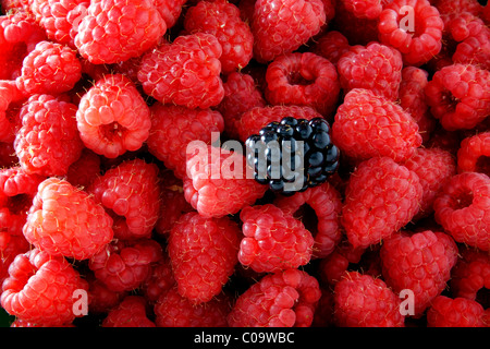 Raspberries (Rubus idaeus) with a single Blackberry (Rubus sectio Rubus) - Stock Photo