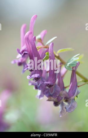 Bulbous Corydalis (Corydalis cava), early bloomer - Stock Photo