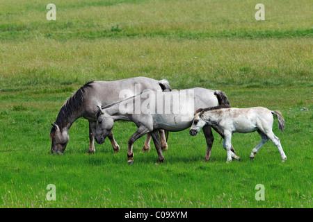 Konik horses (Equus przewalskii f. caballus), foal, mare and stallion, tarpan or wild horse, backbreeding - Stock Photo
