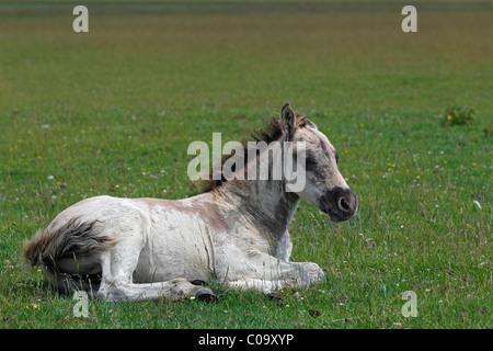 Konik horse (Equus przewalskii f. caballus), foal, tarpan or wild horse, backbreeding - Stock Photo