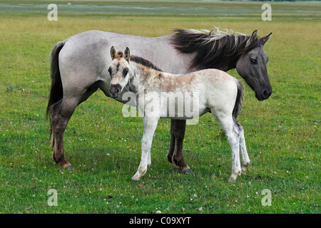 Konik horses (Equus przewalskii f. caballus), foal and mare, tarpan or wild horse, backbreeding - Stock Photo