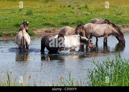 Group of drinking and bathing male konik horses (Equus przewalskii f. caballus) in the water, stallions, tarpan - Stock Photo