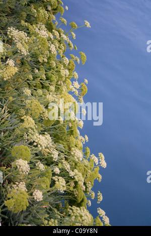 Rock samphire (Crithmum maritimum) growing beside the sea in Greece - Stock Photo