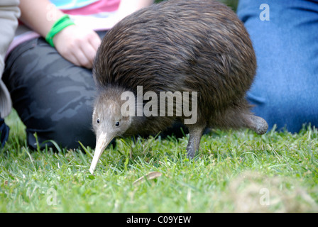 North Island Brown Kiwi, Apteryx mantelli, with only one leg - Stock Photo