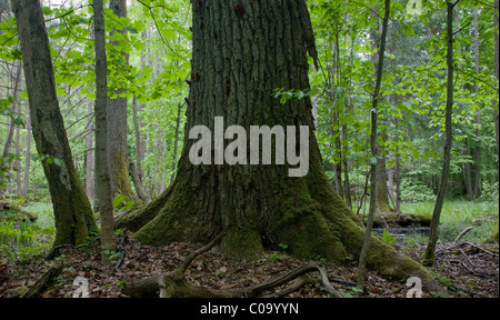 Very old oak almost dead still standing against younger stand - Stock Photo