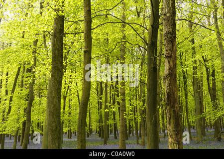 English beech woods in spring, UK. - Stock Photo