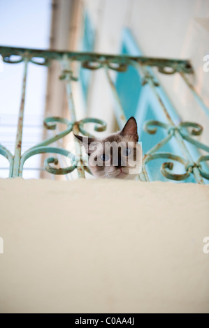 Inquisitive Siamese cat on a balcony at Barrettali. Cap Corse. Corsica. France - Stock Photo