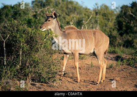 A female kudu antelope (Tragelaphus strepsiceros) feeding on a tree, South Africa - Stock Photo