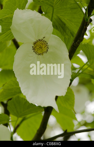 Dove tree or Handkerchief tree (Davidia involucrata) In a park in Ambleside, Cumbria, UK. May. - Stock Photo