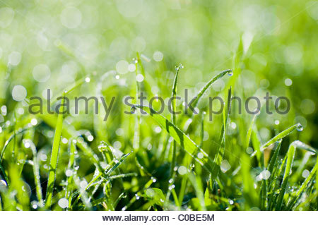 Close up of dew drops on grass. - Stock Photo