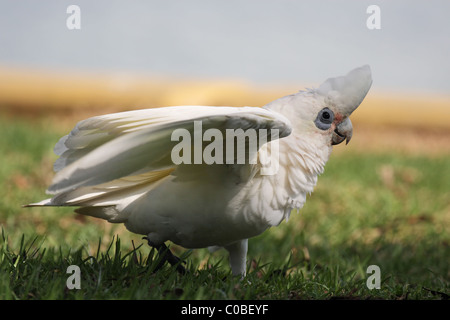 Little Corella (Cacatua sanguinea) sitting on a lawn in Australia - Stock Photo