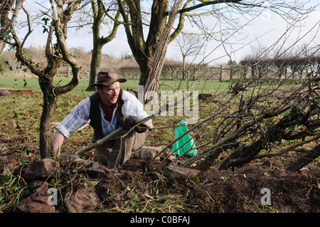 Man layering a hedge - an old traditional Irish method for creating thick hedges in fields - Stock Photo