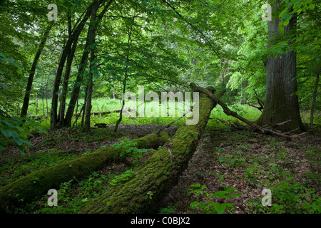 Springtime natural deciduous stand with two mossy logs lying in front of old oak and small glade among trees - Stock Photo
