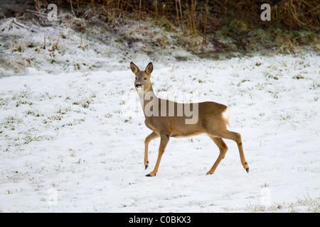 Roe Deer; Capreolus capreolus; in snow; Norway - Stock Photo